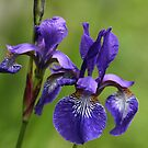 Dabs of Purple Blood Iris by Wolf Read