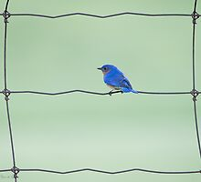 Eastern Bluebird on a wire by (Tallow) Dave  Van de Laar