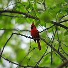Northern Cardinal - Ottawa, Canada by Josef Pittner