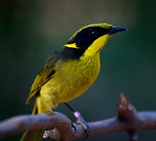 Helmeted Honeyeater by GP1746