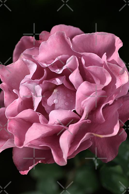 Frilly Rose by Joy Watson