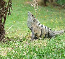 Iguana display by kokitico