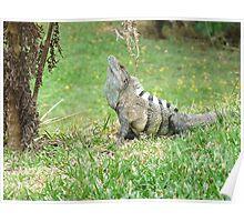 Iguana display Poster