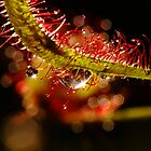 Water Droplets On A Sundew by Gabrielle  Lees