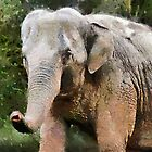 The Elephant, Paignton Zoo, UK by buttonpresser