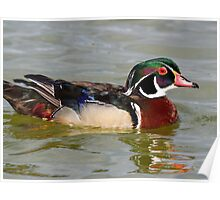 A beautiful wood duck Poster