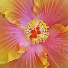 Golden, Pink &amp; Flame Hibiscus, Botanic Gdns, Adelaide. by Rita Blom
