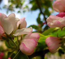 Crab Apple Blossoms by Antoinette B