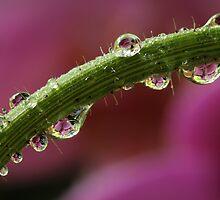 Orchid Pearls by Lynn Gedeon