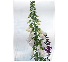wild white and purple foxglove flowers Poster