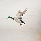 Landing duck by Madsen1981