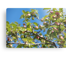 Paradise apples on a branch Metal Print