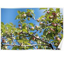 Paradise apples on a branch Poster