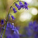Bluebell  by Stuart  Gennery