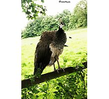 Brown Peacock Photographic Print