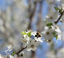Blossoming tree of plum by alexmak