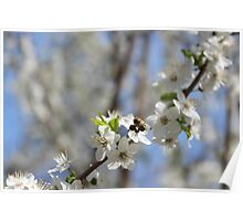 Blossoming tree of plum Poster