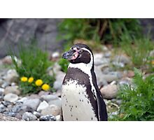 Penguin lookout Photographic Print