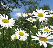 a lot of white beautiful chamomiles by alexmak