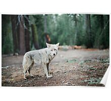 Wolf In Yosemite Poster