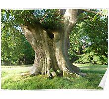 pedunculate oak Poster