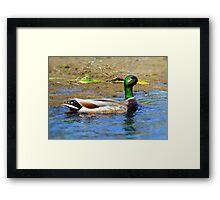 Drake Mallard Framed Print