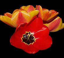tulips shining bright by dedmanshootn