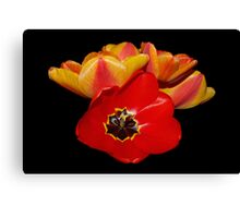 tulips shining bright Canvas Print