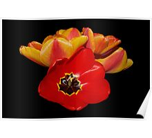 tulips shining bright Poster