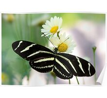 Heliconius charithonia Poster