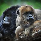 Male and Female Howler Monkeys  by venny