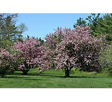 Beautiful Pink Crabapple Trees Photographic Print