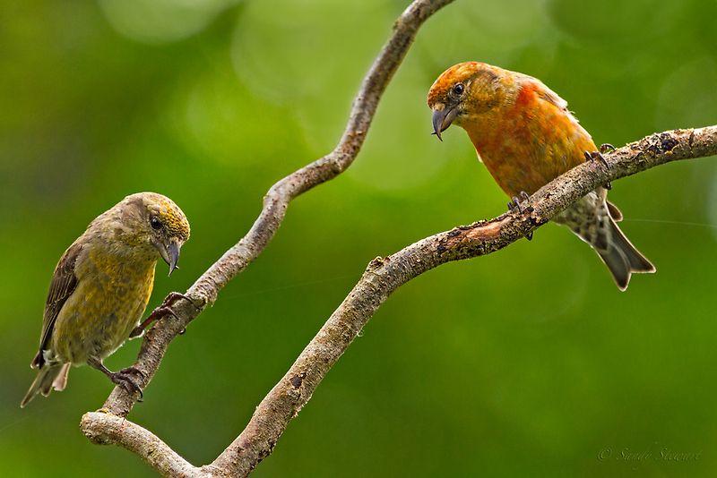 RED CROSSBILLS by Sandy Stewart