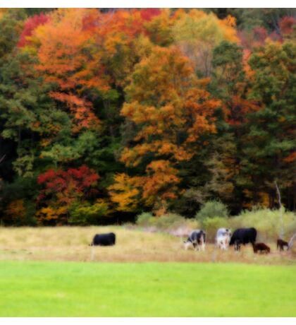 Autumn Foliage Cows In Field Sticker