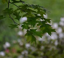 Maple Leaves by JMG1883