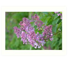 Lilac Dreams Art Print