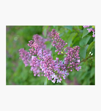 Lilac Dreams Photographic Print