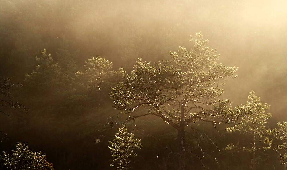 16.5.2013: Pine Tree and Spring Morning by Petri Volanen