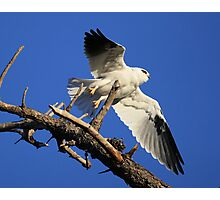 Black Shouldered Kite, On Lift off  Photographic Print