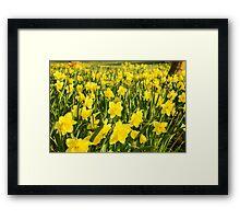 Field of Daffodils Framed Print