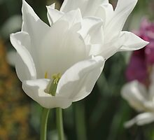 White tulip by Loustalot