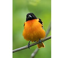 Puffy Baltimore Oriole Photographic Print