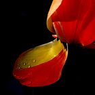 .....tulips are too excitable ! by Photography  by Mathilde