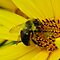 BUMBLE BEES ON YELLOW FLOWERS