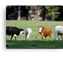 Cattle Herding Cattle Canvas Print