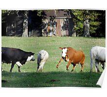 Cattle Herding Cattle Poster