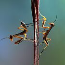 Young praying mantids by jimmy hoffman