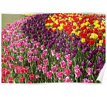 Tulip Garden in the Mid-day Sun Poster