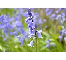 Field of bluebells  Photographic Print
