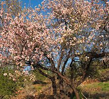 blossom almond-tree by Atman Victor